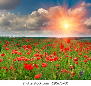View of beautiful poppies field in rays sun.