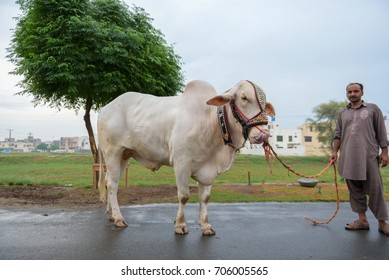 The view of a Beautiful White Cattle in Lahore, Pakistan on 30th August 2017