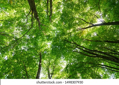 View of a beech forest with green leaves in summer