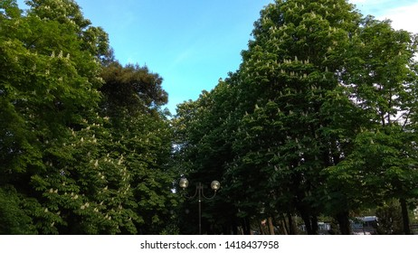 View from below of blooming chestnut trees having dense foliage. Chestnut tree crown.  Looking up at luxuriant, white chestnut trees in the street.