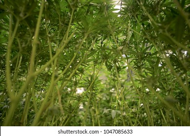 View From Below of Cannabis Indica Buds Leaves Stems Indoor Marijuan Garden