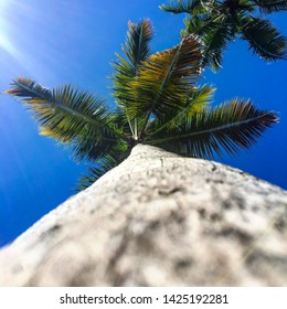 View from below of a coconut tree