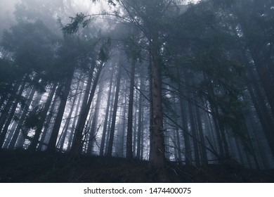 A view from below of the large spruce trees in the dark fog forest