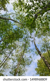 view from below looking up towards the sky at the tops of trees; beautiful green trees reaching towards the clouds against blue sky