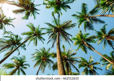 A view below many palm trees in Tortuga island, Costa Rica, useful for backgrounds.