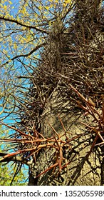 View from below. Multi-branched thorns growing in clusters along the Honey Locust tree trunk.  Thorns growing straight from the trunk and branches of the Gleditsia tree. Thorny trunk of a Gleditsia.