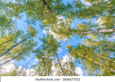 View from below on the crowns of birch trees with young greenery against the blue sky and fluffy clouds