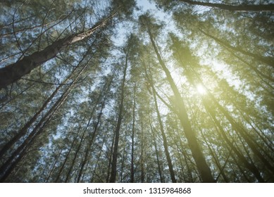view from below of a red pine forest with a sunlight on a bright day. concept of nature background, holiday and tranquility