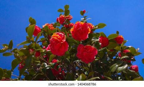 View from below of rose-like red camellia blooms & dark green leaves against the blue sky. Camelia japonica blooming shrub top. Prolific camellia upper branches having red blooms & dense foliage.