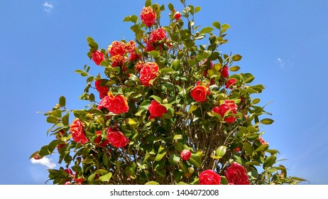 View from below of the sunlit camelia japonica blooming shrub top. Rose-like red camellia blooms contrasting with green leaves against the blue sky.  Prolific camellia upper branches with red blooms.