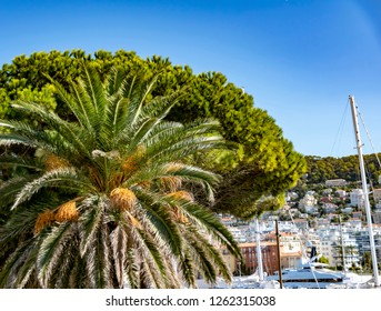 View to a big palm tree and a big pine tree in Nice, France. In the background you can see the marina and the buildings on the mountainside.