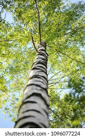 Up view of a birch with green leaves in summer