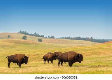 View of bison in Custer State Park in the Black Hills in South Dakota
