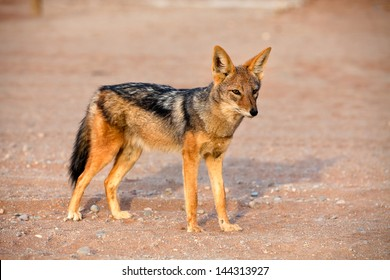 View of black-backed jackal in african desert