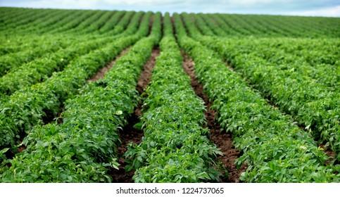 An view of a blooming field of potatoes in the rolling fertile farm fields of Idaho.