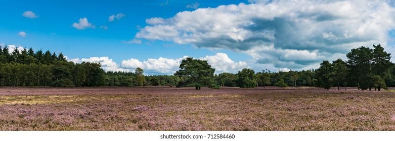 View of Blooming heath landscape in September. Dutch Veluwe. Beautiful pile of clouds with Dutch skies. Renderklippen Heerde, Epe.
