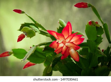 View of blooming red Christmas cactus against green background