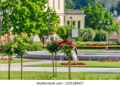 View of blooming roses in Ragascka Slatina, Slovenia. With selective focus