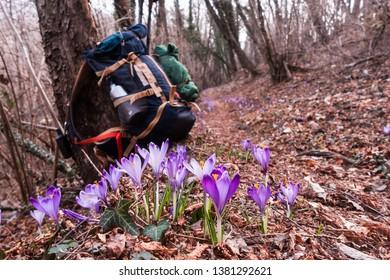 View of blooming spring flowers crocus growing in wildlife. In background blurred, hiker backpack.
