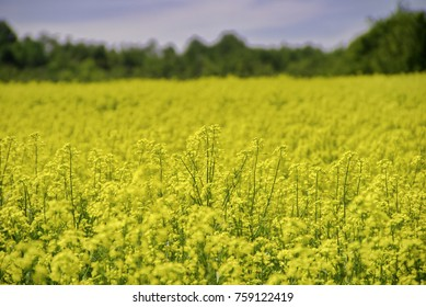 View of blooming yellow rapeseed field under blue sky during the summer in Collingwood, Ontario