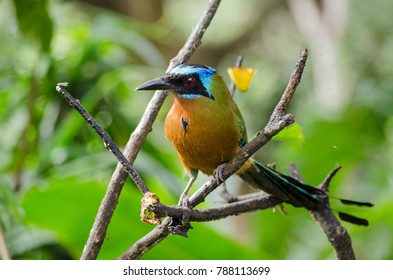 View of a blue crowned motmot bird perched on a tree in Tobago.  The bird, latin name Momotus momota, is very popular in the island nation of Trinidad and Tobago and is pictured on the $5 banknote.