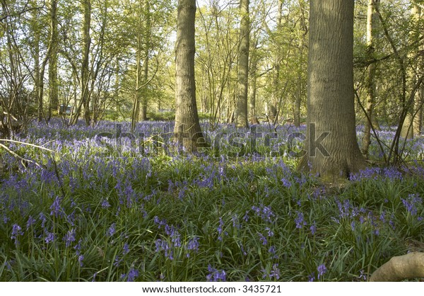 A view of Bluebells in spring in the UK