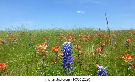 View of the Bluebonnet and Indian Paintbrush blooming flowers in the Texas Hill Country