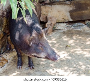 View of boar standing in the farm.