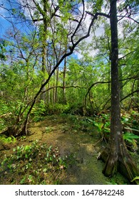 View from Boardwalk in Audobon Corkscrew Swamp Sanctuary, Florida Everglades Ecosystem - Nature Walking Trail, Ancient Tree