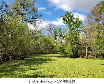 View from Boardwalk in Audobon Corkscrew Swamp Sanctuary, Florida Everglades Ecosystem - Nature Walking Trail, Protected Forest Swamp Ecosystem