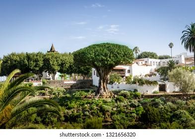 View to botanical garden and Dragon Tree in Icod de los vinos, Tenerife