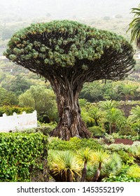 View to botanical garden and famous millennial tree Drago in Icod de los VInos, Tenerife, Canary Islands