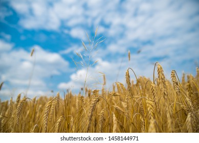 View from the bottom of golden wheat field with cloudy blue cyan sky in the background