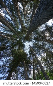 A view from the bottom in the pine forest. Background, texture.