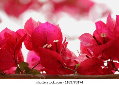 View of bougainvillea flowers