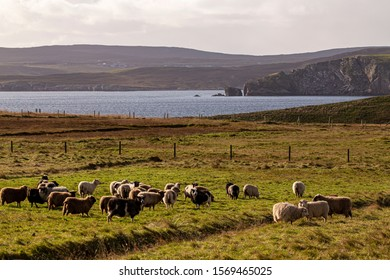 A view from Bressay across to the Shetland Mainland with a flock of crofters sheep in the forground