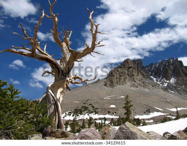 View of Bristlecone Pine tree and mountains of Great Basin National Park, Nevada, USA.