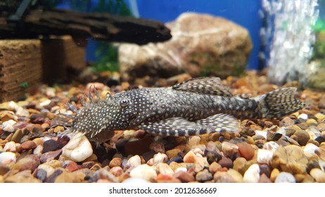 View of Bristlenose Pleco catfish in the aquarium tank at local pet store. It  is a freshwater fish, a bottom-dweller pet fish that likes consuming algae, important fish to keep a healthy tank.