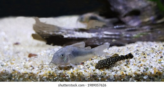 View of bronze corydoras (also known as a bronze cory or a green cory) and baby suckermouth catfish, Polka Dot Lyre Tail Pleco resting in aquarium tank. Tropical freshwater catfish, algea eater