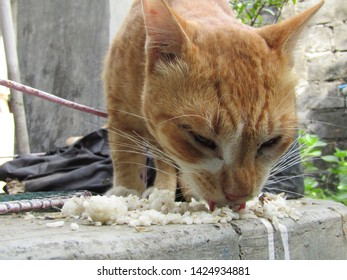 View of bunch young adult mix Feral alley street wild cat kitten asia starving eating on the ground pave tile asphalt leftover foods rice fish egg bones meat. black grey white old brown orange color.