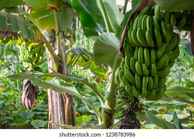 View of bunches of bananas in an ecological plantation in the south of Tenerife, Canary Islands