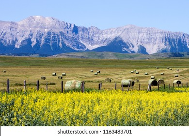 View of the Canadian Rockies and yellow canola field in bloom on the Cowboy Trail near Lundbreck, Alberta, Canada.