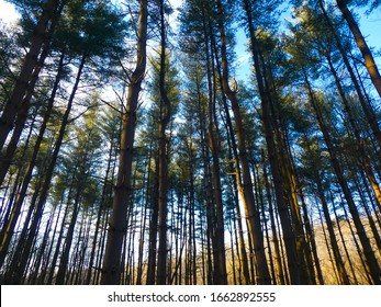View of the canopy of eastern white pine (Pinus strobus) trees in a Maryland forest.