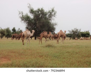 View of a cattle of dromedaries in north Senegal in Mattam region. The high animals are walking and eating the herb of the grass and the leaves of the trees. They move along the senegal river.