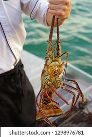 View of a chef holding a fresh live spiny lobster just picked from the Caribbean Sea in St Kitts