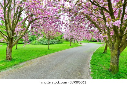 View of a Cherry Blossom Lined Path through a Beautiful Landscape Garden