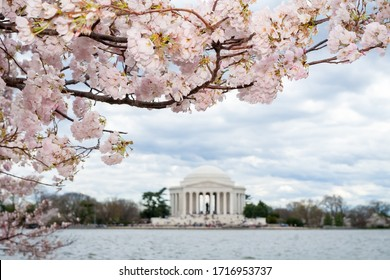 A view of cherry blossoms and the Jefferson Memorial across the Tidal Basin during the Cherry Blossom Festival in Washington DC, USA