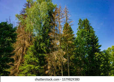 View of Christmas trees and pines affected by stem pests. Branches of Christmas trees with dried needles of brown color destroyed by bark beetle typograph. Moscow region.