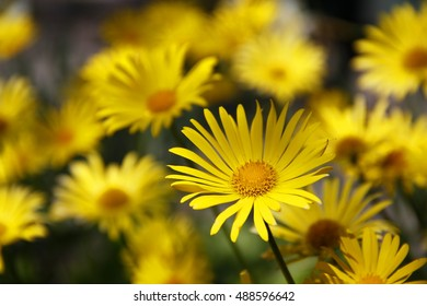 View close up of the wild yellow daisy
