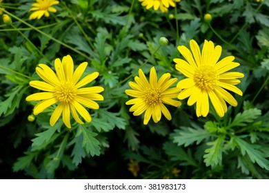 View closed up of the wild flowers of a yellow daisy with green background.